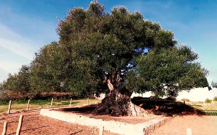 bois olivier Tunisie